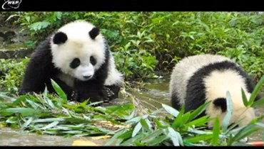 Video - Panda Protection Project